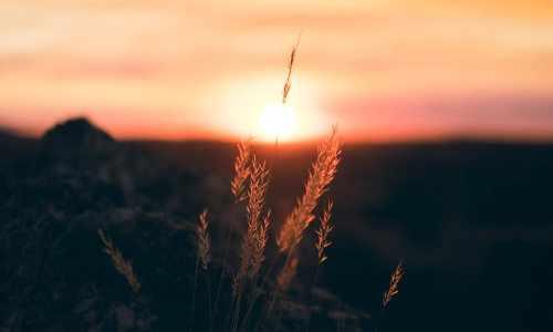sunrise, wheat