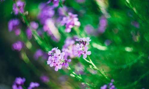 Purple Flowers, present
